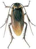 Amerikansk kakerlakk