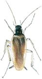 Brunbeltet kakerlakk