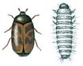 Khaprabille og larve