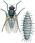Liten husflue og larve
