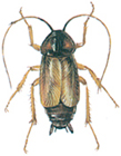 Orientalsk kakerlakk, hann