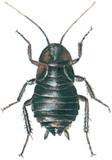 Orientalsk kakerlakk, hunn