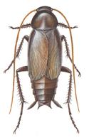 Orientalsk kakerlak, hann