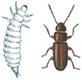 Rustfarget kornbille og larve