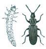 Sagtannet melbille og larve