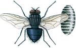 Spyflue og puppe
