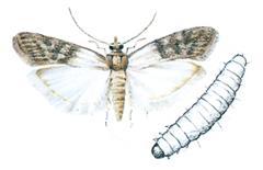 Tørrfruktmoell og larve