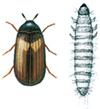 Vepsebolklanner og larve