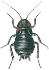 Orientalsk hunnkakerlakk