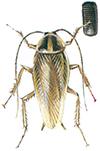 Tysk kakerlakk