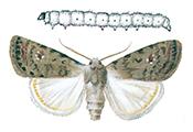 Husfly