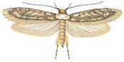Klistermøll med utfoldede vinger