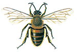 Honningbie