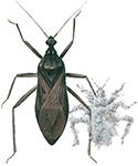 Støvtege og larve