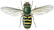 Hageblomsterflue
