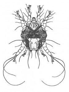 Øremidd, Otodectes cynotis. (etter Vitzthum)