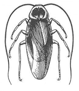 Amerikansk kakerlakk.
