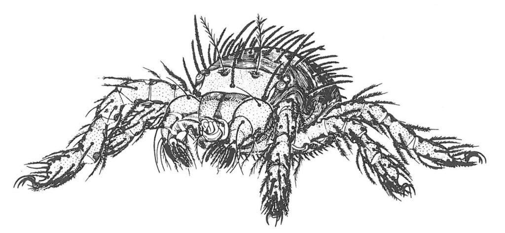 Augustmiddens larve er 0,3 mm lang - Veggedyr Stikk og kloee - Side 140