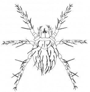 Augustmiddens larve i mikroskop Veggedyr Stikk og kloee Side 143