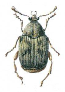 Bønnefrøbillen, Acantoscelidesobtectus
