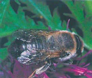 Bladskjærerbie på blomsterbesøk i knoppurt