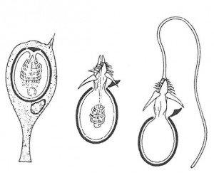 Brennmanets tentakler er utstyrt med nesleceller. Når den berøres slippes tråden med de etsende stoffer ut og slynger seg rundt de smådyr som brennmaneten lever av. (fra Boas-Thomsen)