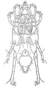 Chirodiscoides caviae, midd hos kanin - Veggedyr Stikk og kloee - Side 167