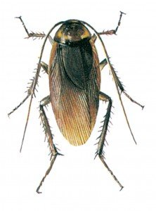 Den amerikanske kakerlakk - Skadedyr I Naeringsmidler - Side 70