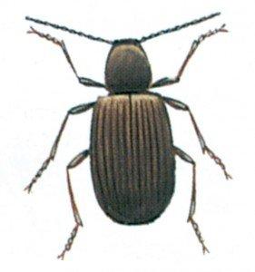 Den-australske-tyvbille-Ptinus-tectus