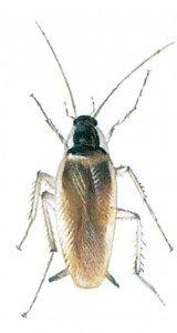 Den brunbeltede kakerlakk - Skadedyr I Naeringsmidler - Side 69