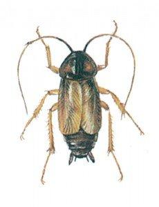 Den orientalske kakerlakk - Skadedyr I Naeringsmidler - Side 68