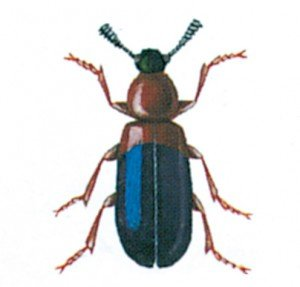 Den rødbrystede skinkebille, Necrobia ruficollis