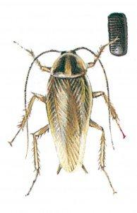 Den tyske kakerlakk - Skadedyr I Naeringsmidler - Side 20