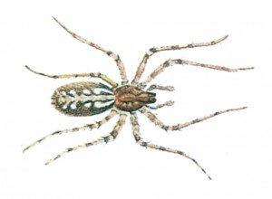 Edderkopper, her en husedderkopp