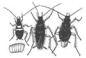 Eggkapsel, unge, hann og hunn av brunbeltet kakerlakk.