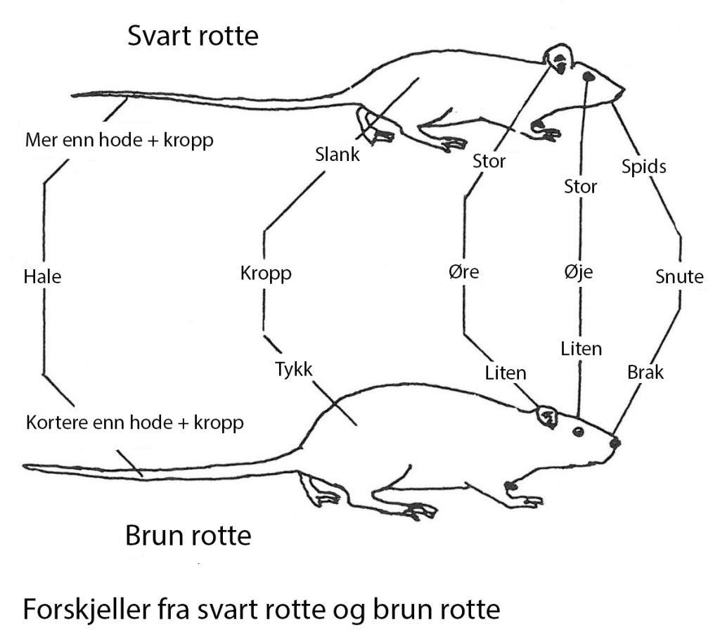 Forskjellen på brunrotte og svartrotte - Skadedyr I Naeringsmidler - Side 53