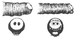 Forskjellen på husflue, stor kjøttflue og spyflue - Skadedyr I Naeringsmidler - Side 51