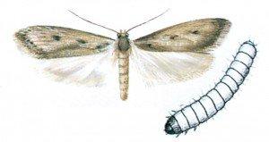 Frømøll og larve