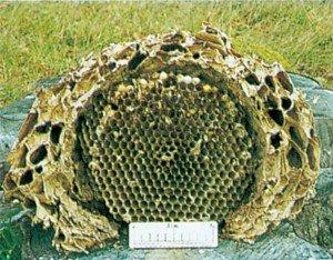 Gjennomskåret rede av Vespa crabro