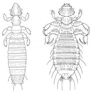 Gliricola Porcelli og Gyropus ovalis - Veggedyr Stikk og kloee - Side 166