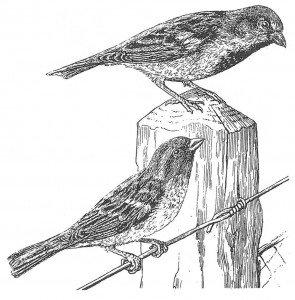 Gråspurv, hann og hunn