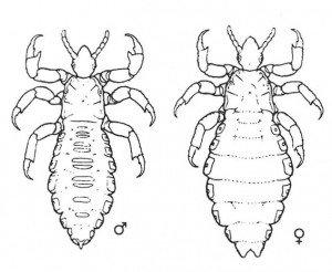 Fig. 4. Hodelus, hann og hunn.