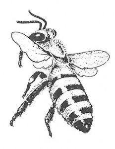 Honningbi der er ved at lægge an til landing. (efter Wilson)
