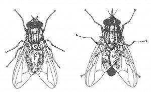 Husflue (t.v.) og stikkflue (t.h.). (etter Kemper)