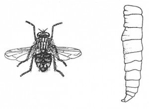 Husflue, voksen og larve
