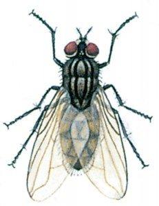 Husfluen, Musca domestica