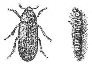 Husklanner, voksen og larve