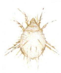 Husmidd, Glycyphagus domesticus