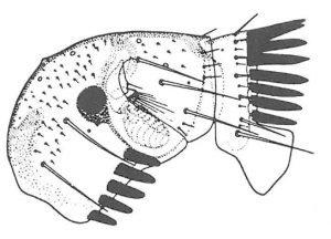 Kaninloppen, spilopsyllus cuniculi - Veggedyr Stikk og kloee - Side 164