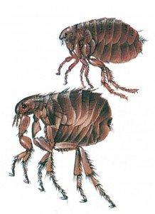 Katteloppe og menneskeloppe